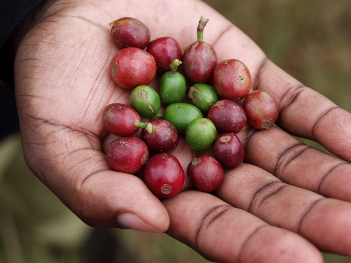 How is coffee harvested?