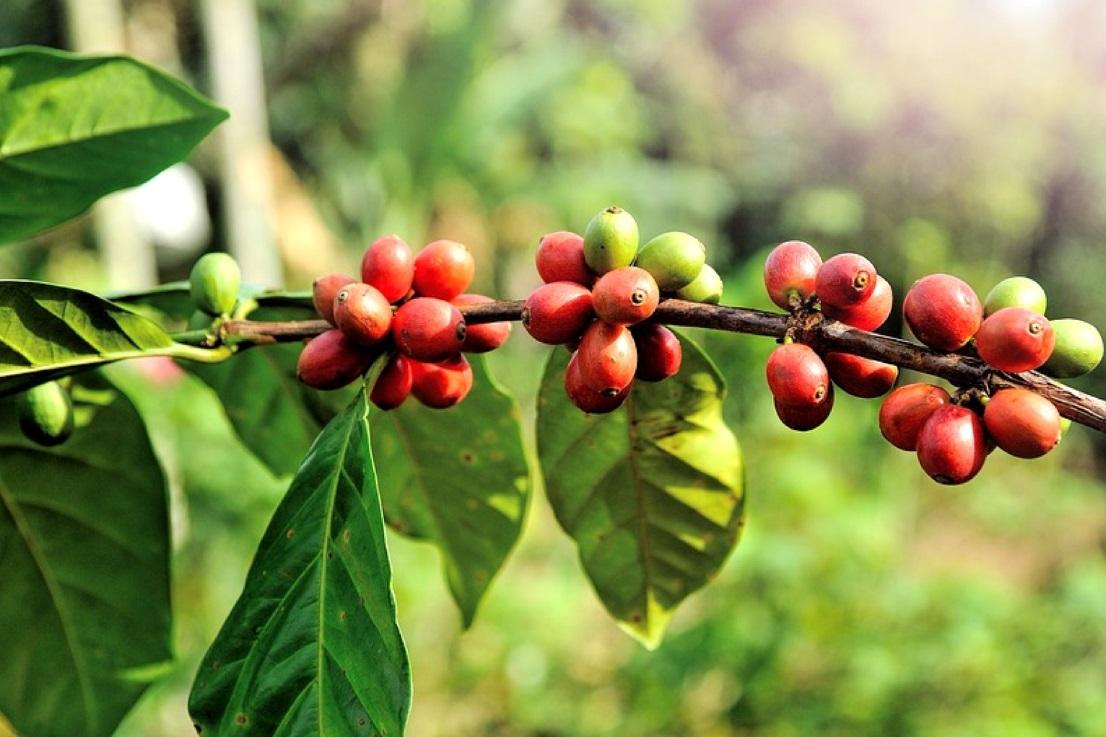 Why do we roast coffee beans?